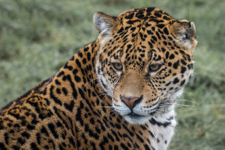 onca: Close up three quarter portrait photograph of a Jaguar big cat staring slightly down to the left
