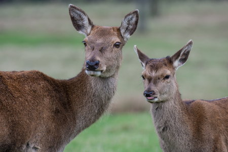 tongue out: Red deer doe and fawn looking slightly left. Fawn has tongue out
