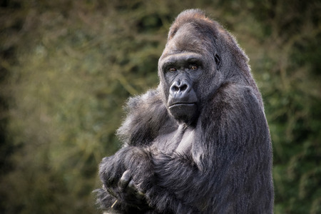 Half length portrait of a silver back gorilla sitting and staring at the camera