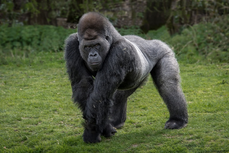 A silver back gorilla standing and looking alert and menacing against a natural background Фото со стока