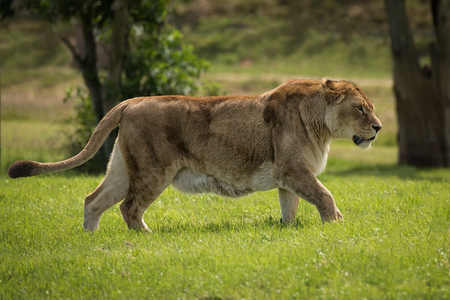 prowl: A full image of a lioness on the prowl walking and alert Stock Photo