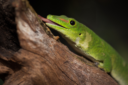 small reptiles: Close up image of a gecko on a log with its tongue out