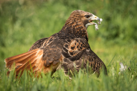 Close up image of a red tailed hawk, Buteo jamaicensis,  on the ground with wings spread covering its meal of a pigeon. Showing feathers around its beak, in America it is also known as a Chickenhawk Banco de Imagens