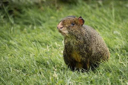 agouti: An agouti resting in the grass and looking alert for predators