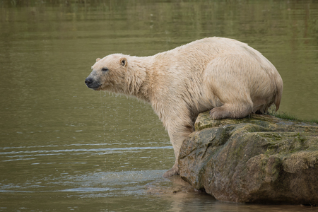 wet bear: A wet polar bear on a rock with water droplets from its fur preparing to dive back into the water Stock Photo