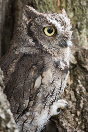 megascops: A side view of a southern screech owl perched in a tree and staring to the right