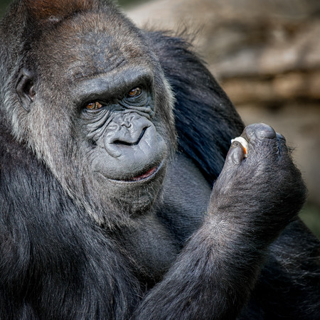 Silver back gorilla close up portrait looking at camera and smiling