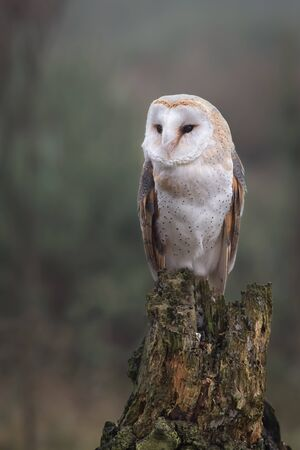 upright format: An alert looking female barn owl perched on an old tree stump in upright vertical format