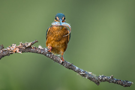 alcedo atthis: Kingfisher perched on a branch with a fish in its beak staring forward at the camera