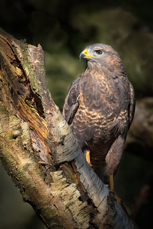 A close profile photograph of a Common buzzard (Buteo buteo) perched on a tree and looking to the left