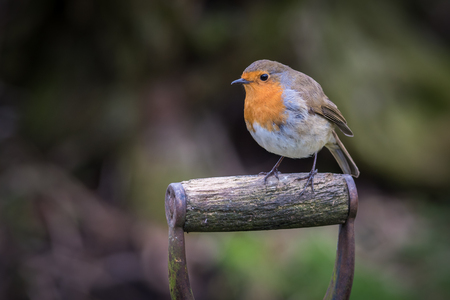 A  close up photograph of a robin perched on a fork handle looking alert