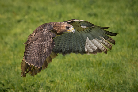 A red tailed hawk in flight from left to right with wings outstretched
