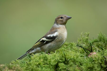 a close full profile portrait of a single female chaffinch perched standing looking alert on a mossy ground covering Stock Photo