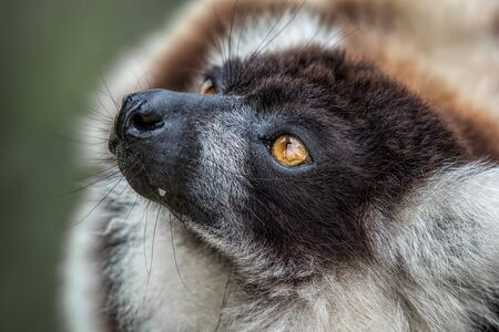 profile: A very close photograph of the head of a black and white ruffed lemur showing eye detail and fur texture Stock Photo