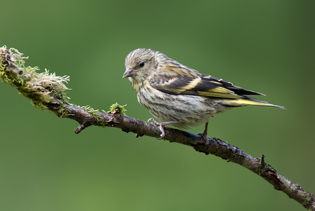 A female siskin sit on a branch looking slightly down to the left Stock Photo