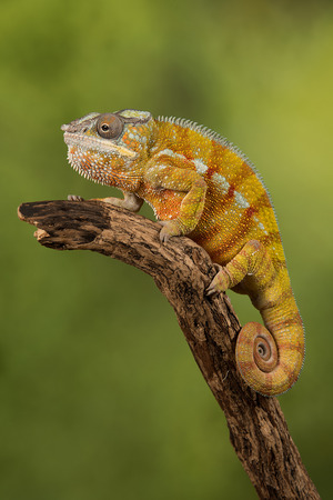 Close up photograph of a panther chameleon climbing up a branch with its tail curled up set against a green background 版權商用圖片