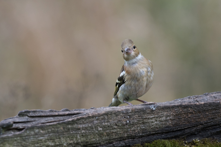 A juvenile female chaffinch perched on an old gate looking straight directly at the camera viewer tilting its head Stock Photo