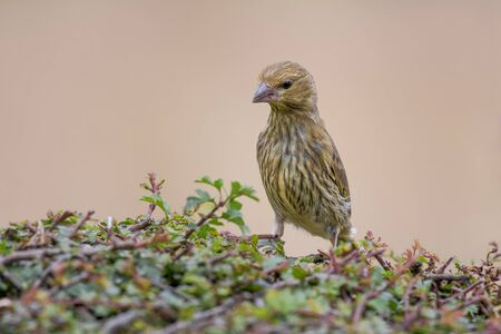 Juvenile greenfinch standing on a hedge stretched upwards looking down inquisitive Stock Photo