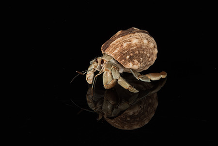 A hermit crab emerged for its host shell with reflection and set on a black background