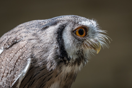 profile: Close up profile photograph of an Indian scops owl Otus bakkamoena leaning and staring to the right