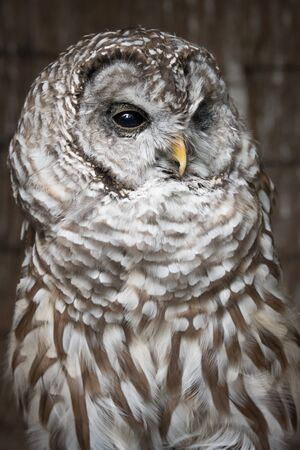 A close vertical upright up three quarter length portrait on a barred owl looking slightly to the right Stock Photo