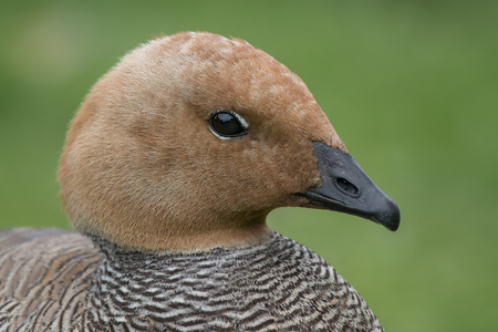 profile: close up head profile portrait of a ruddy headed goose looking to the right