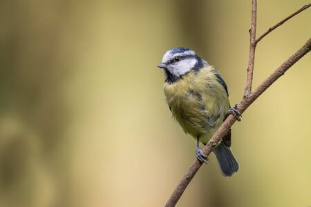close up portrait of a juvenile blue tit perched on a thin branch and looking to the left complete with copy space for text Stock Photo