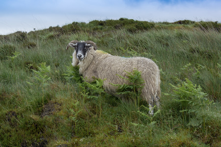 Side view of a sheep with a woolly coat waiting to be shorn standing on a hill looking forward with a blue sky