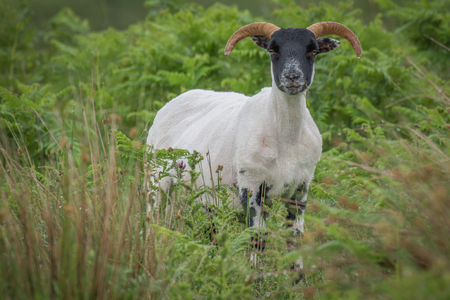 Alert portrait of a sheep with horns that has just been shorn standing looking forward amongst grass with grass in its mouth Stok Fotoğraf