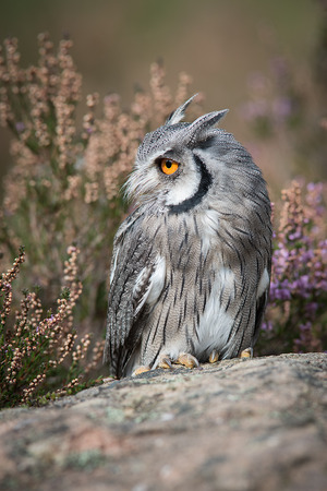 A close up full length portrait of a white faced scops owl standing on a rock and looking to the left in upright format