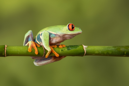 Close side view profile image of a red eyed tree frog balancing on a bamboo cane looking to the right