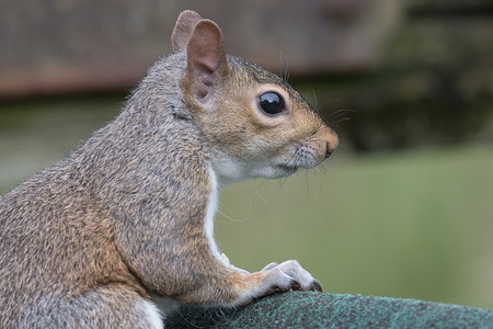 profile: Close up side view profile portrait of a grey squirrel looking to the right