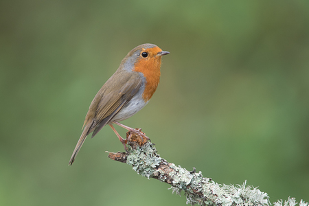 erithacus rubecula: A close up profile portrait of a robin perched on the end of a branch facing to the right with a natural green background and text space