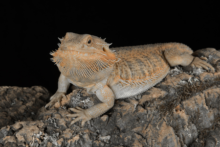 A close up portrait of a bearded dragon resting on a piece of wood against a black background