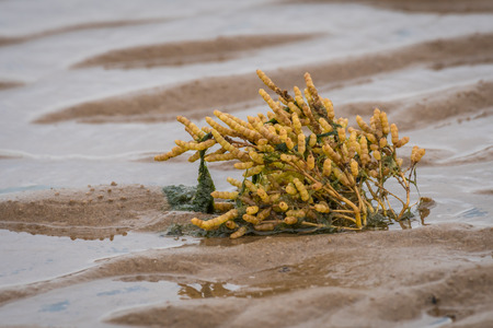 A samphire plant growing on the beach in the sand exposed with the tide out and seaweed on the stem