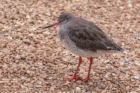 Close up full photograph of a redshank searching for food on a shingle beach Stock Photo