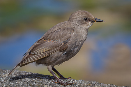 profile: Close up side profile portrait of a juvenile starling standing on a stone wall