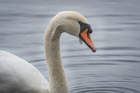 Close up profile portrait of a mute swan with water droplets on its feathers and a piece of weed in its mouth Banco de Imagens