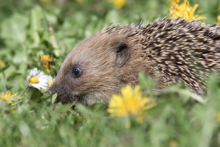 A close side view profile image of a young hedgehog rooting in the grass in between flowers looking for food