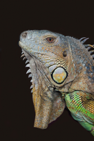 very close upright portrait photograph of the head of a iguana against a dark background