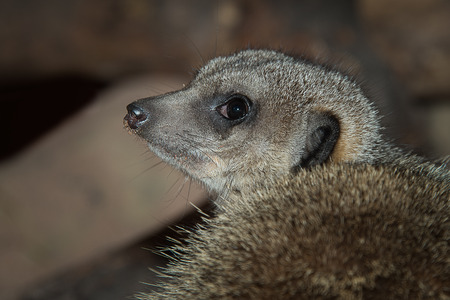Close up portrait of a meerkat unusal looking from behind and with it facing left