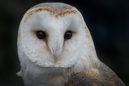 Close up portrait of the head only of a barn owl, tyto alba, with its eyes staring forward against a dark background