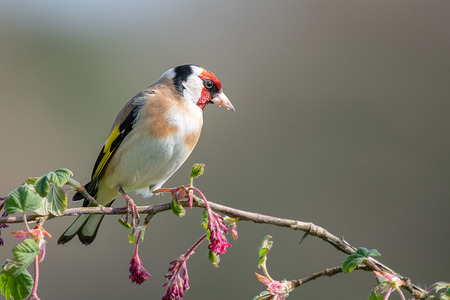 A profile portrait photograph of a goldfinch perched on a branch of pink red flowers buds posing and looking to the right
