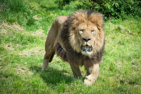 A close image of a lion prowling  walking and staring forward at the camera with a frothing open mouth