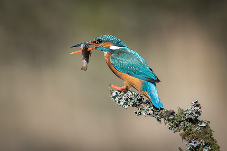 A female kingfisher sits on a lichen covered branch. After a successful div, it has a minnow in its beak. Facing left to right with copy space Banco de Imagens