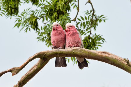 looking slightly up at a pair of red breasted cockatoo sitting close together on a branches if in love. the birds are both facing forward