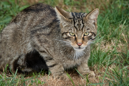 A close up study of a scottish wildcat The animal is crouched and staring directly forward