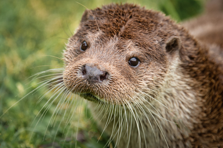 A very close portrait of the face of an otter. It is taken from a slightly higher angle and the animal is looking up Stock fotó