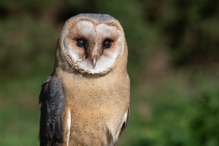 A very close half length portrait of a melanistic barn owl. The bird of prey is facing forward with its eyes wide open