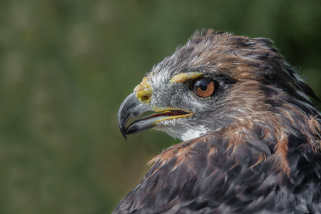 Close up profile portrait of a red tailed hawk, also known as a chicken hawk. The bird is looking alert and to the left